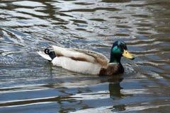 Mallard duck drake Stock Photography