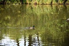 Mallard. Duck drake swimming in lake Royalty Free Stock Photo
