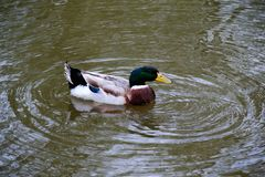 Mallard Duck Drake Royalty Free Stock Photo
