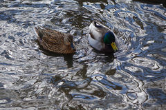 Mallard Duck and Drake swimming. A mallard duck and drake swim on the rippled water of a city pond in Boise, Idaho Royalty Free Stock Photography