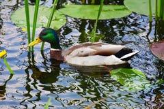 Mallard Duck Drake. Swims in the river Stock Photos