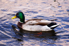 Mallard Duck Drake Royalty Free Stock Image