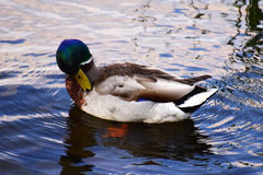 Mallard Duck Drake. Swims in the river Stock Photo