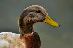 Mallard Duck Drake Variety Portrait Royalty Free Stock Photography