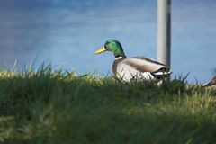 Mallard Duck Drake. Walking in a meadow Royalty Free Stock Photography