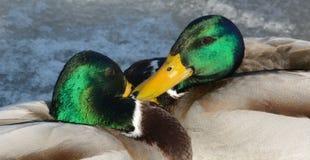 Mallard Duck Drakes in squabble Royalty Free Stock Photo