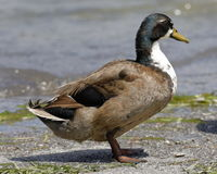 Mallard duck. A mallard duck dry on the shore of the lag Royalty Free Stock Photo