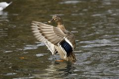 A Mallard duck drying its wings up close stock photos