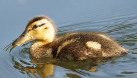 Young Mallard Duck Duckling. Immature Mallard duckling swimming in a shallow pond Stock Image