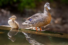 Mallard Duck and Duckling. A mother Mallard Duck and her Duckling Royalty Free Stock Images
