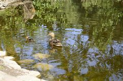Mallard duck with duckling. Mallard duck mother with young ducklings on lake Stock Images