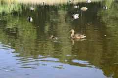 Mallard duck with duckling. Mallard duck mother with young ducklings on lake Royalty Free Stock Photo