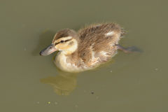 Mallard Duck duckling. Swimming alone on lake Stock Photos