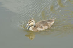 Mallard duck duckling. Swimming alone on lake Stock Photo