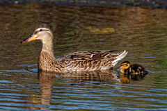 Mallard Duck and Duckling Swimming. A Mallard Duck swims with a duckling. These ducks can be found in both rural and urban areas Stock Photography
