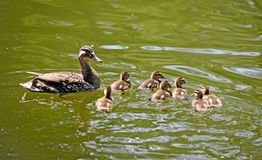 Mallard duck and ducklings Royalty Free Stock Photography