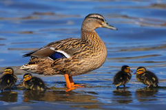 Mallard duck with ducklings. Anas platyrhynchos - female duck guarding her babies Royalty Free Stock Images