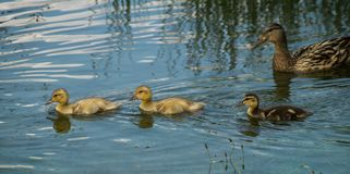 Mallard duck with ducklings. Adult female mallard duck with ducklings swimming in lake Royalty Free Stock Images