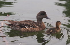 Mallard Duck With Ducklings. Mallard duck with duckling in summer time Stock Photography