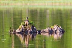 Mallard duck with ducklings. Mallard female duck with ducklings Royalty Free Stock Image