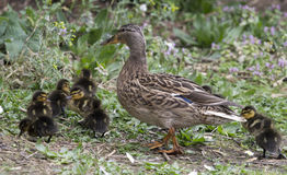 Mallard Duck with ducklings. Mallard, mother duck walking with Ducklings Royalty Free Stock Photos