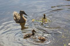 Mallard duck and ducklings on a river. Female mallard duck and its three ducklings swimming on a river in Brittany during spring royalty free stock photo
