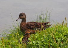 Mallard Duck With Ducklings. In summer time Stock Photos
