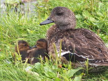 Mallard Duck With Ducklings. In summer time Royalty Free Stock Image