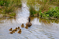 Mallard duck. S, mother with her chicks Stock Image