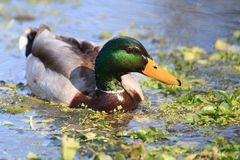 Mallard duck in duckweed. Drake mallard duck in duckweed Royalty Free Stock Image