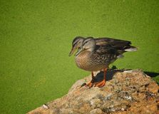 Mallard duck duckweed. Two mallard ducks perched on a rock surrounded by a river of green duck weed Royalty Free Stock Photo