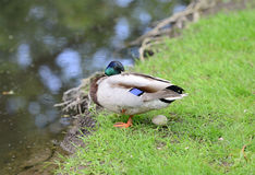 Mallard Duck with egg. Mallard Duck protecting egg, beside a stream Royalty Free Stock Photography