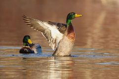Free Mallard Duck Evening Wing Flap Royalty Free Stock Photo - 113769965