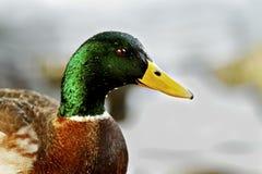 Mallard duck face Royalty Free Stock Photos