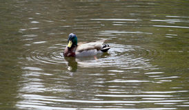 Mallard Duck facing left Royalty Free Stock Photography
