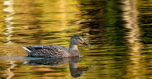 Mallard Duck in the fall colours Stock Images