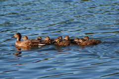 Mallard Duck Family. Mother duck and her young children Stock Image