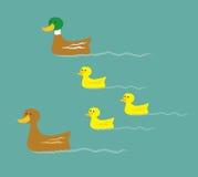 Mallard Duck Family Stock Images
