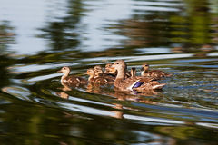 Mallard Duck Family. A Mallard Duck and eight ducklings swimming in a pond Stock Image
