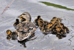 The Mallard Duck Family Royalty Free Stock Images