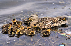 The Mallard Duck Family Royalty Free Stock Photos