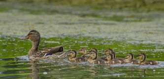 Mallard duck family. A female mallard duck with its family. Green of trees being reflected on the water Royalty Free Stock Photo