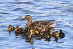 Mallard Duck Family Group. A mother mallard swimming on a pond with her ducklings Royalty Free Stock Photo