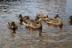 Mallard duck family on a lake Stock Photo