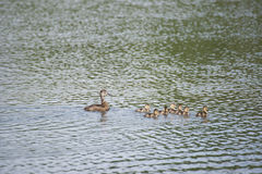 Mallard Duck Family. At Reflections Lake, Palmer Hay Flats, Alaska Stock Image