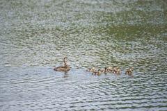 Mallard Duck Family Stock Image