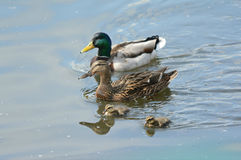 Mallard Duck Family Swimming In A Pond. Engaging spring vista on a hen and drake mallard and two ducklings, swimming together in a freshwater pond Royalty Free Stock Photo