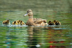 Mallard duck family. Swimming on pond in spring, mother with cute beautiful ducklings Royalty Free Stock Photography