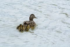 Mallard duck family swimming together. Mallard duck hen swimming ahead of her newborn ducklings in lake on cold overcast day stock photos