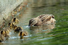 Mallard duck family on the water, female with ducklings ( Anas platyrhynchos ) Stock Photo